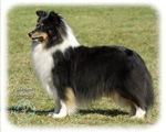 Shetland Sheepdog 9J088D-06