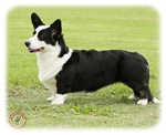 Welsh Corgi (Cardigan)