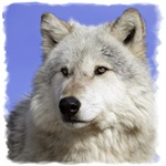 White Wolf on Blue