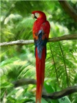 Scarlet Macaw Digital Oil