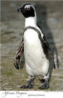 Curious penguin
