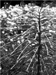 Branches, Black and White