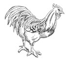 Rooster Black and White