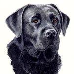 Toby, Black Labrador