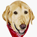 Red Bandana Yellow Lab