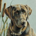 Macho, Chocolate Labrador