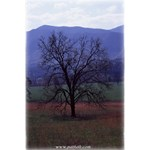 Smokey Mountain Tree