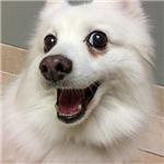 American Eskimo Dog Smile