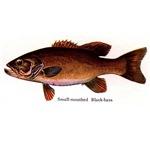 1134 Smallmouth Bass