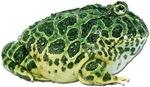 Pacman Frog Photo