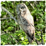 Great Gray Owl Home and Office