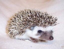 Tara the Hedgehog
