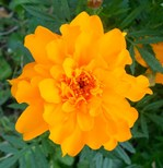 Bursting Orange Marigold