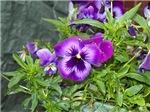 Purple Pansy