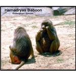 Hamadryas Baboon Photo