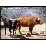 Dwarf Forest Buffalo Photo
