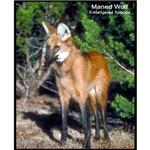 Maned Wolf Photo