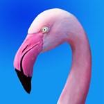 Pink Flamingo Portrait Close Up