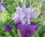 Iris Flower Clothes