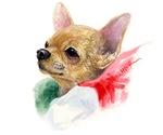 Sweet little Chihuahua