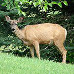 Country Deer