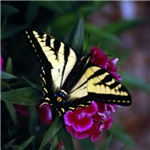Western Tiger Swallowtail (2)