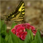 Western Tiger Swallowtail (5)