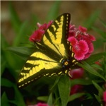 Western Tiger Swallowtail (7)