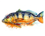 Peacock Bass Graphic