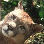 Cougar 01