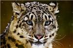 Snow Leopard 02