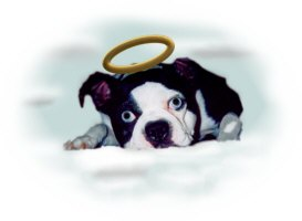 ANGEL BOSTON TERRIER