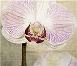 Pink Orchid Petal