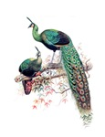 Vintage Peacocks