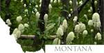 Montana Bear Grass