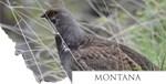Montana- Dusky Grouse