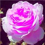 Rose, neon pink