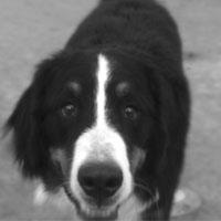 Bernese Mountain Dog Shop!