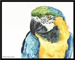 Tango the Blue and Gold Macaw