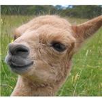 Alpaca Cria - Just Chillin Out