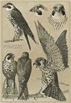 Meheute Falcon