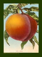 Luscious Peach