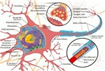 Neuron Cell Diagram