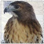 Ostara, Red Tail Hawk