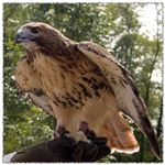 Red Tailed Hawk Ruffled Feathers