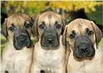 Fawn & Brindle Great Danes