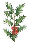 Houx (common holly) by Turpin