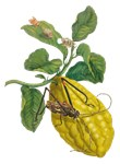 Lemon with Insects