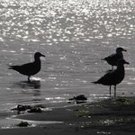 Wading Gulls