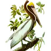 Audubon's Brown Pelican